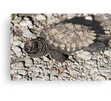 Baby snapping turtle Metal Print