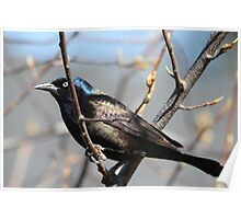 Purple grackle Poster
