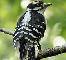 Male Downy Woodpecker by hummingbirds