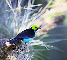 Tanager by Bill Fitch