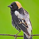 Portrait of a Bobolink by Daniel  Parent