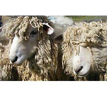 shaggy sheep Photographic Print