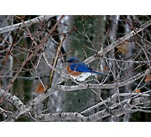 Eastern Bluebird - Male Photographic Print