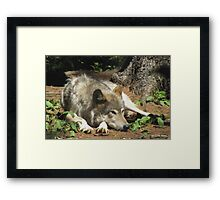 Timber Wolf Chilling Out Framed Print