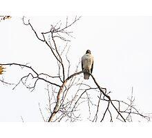 Pride of a Hawk - Eaton Canyon Park, CA Photographic Print