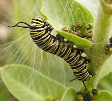 Wanderer Butterfly Caterpillar (Danaus plexippus) - Mount Osmond, South Australia by Dan & Emma Monceaux