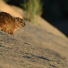 Rock Hyrax by naturalnomad