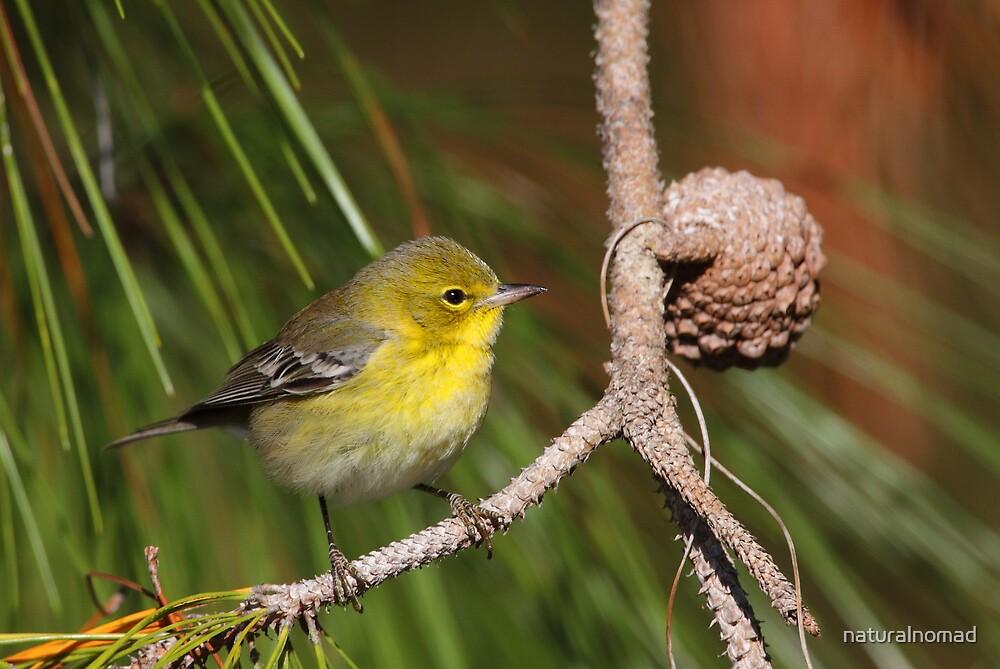 Pine Warbler by naturalnomad