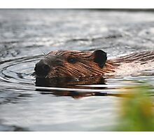 Maine Beaver Photographic Print