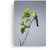 Out on a Limb - Rainbow Bee-eater Canvas Print