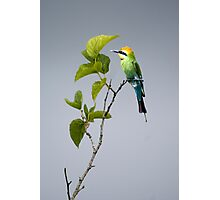 Out on a Limb - Rainbow Bee-eater Photographic Print