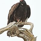 Curious Turkey Vulture by toby snelgrove  IPA