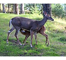 Doe & fawn Photographic Print