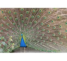 Peacock!  Photographic Print