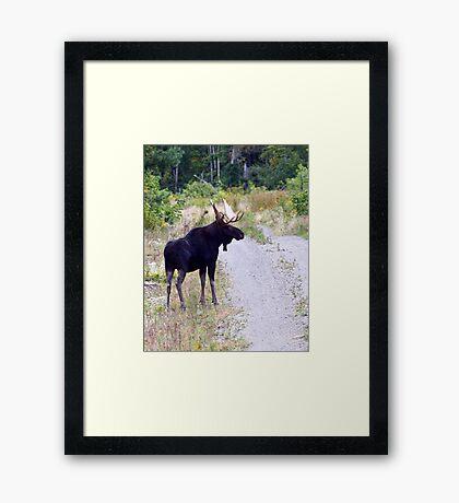 Bull Maine Moose Framed Print