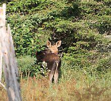 Maine Moose calf by Enola-Gay Wagner