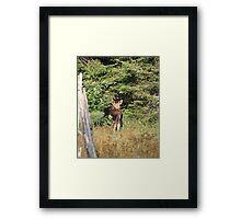 Maine Moose calf Framed Print