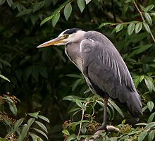 Grey Heron by M.S. Photography/Art