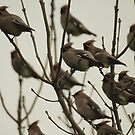 Waxwing not for sale by Antony Burgess