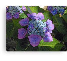 Lace Cap Hydrangea Blossom in Dappled Light Canvas Print