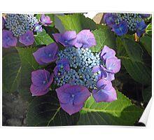 Lace Cap Hydrangea Blossom in Dappled Light Poster