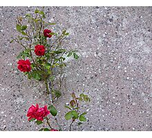 Red Roses On Grey Photographic Print