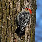Red-bellied Woodpecker by Bill McMullen