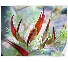 Lotus bertholetii  (Parrot's beak Lotus) Poster