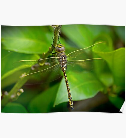 Dragon Fly in My Backyard Poster