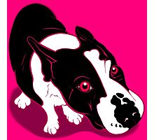 Mr Bull Terrier Pink Photographic Print