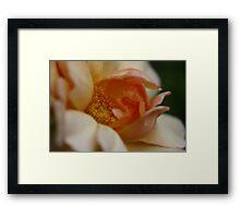 Rose Crepuscule Framed Print