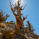 Ancient Bristlecone Pine tree by photo702