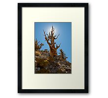 Ancient Bristlecone Pine tree Framed Print