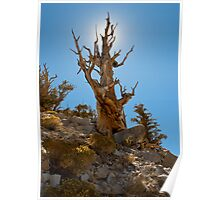 Ancient Bristlecone Pine tree Poster