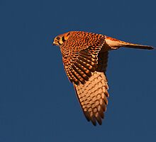 122510 American Kestrel by Marvin Collins