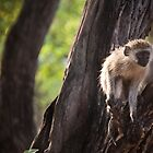 Monkey in the tree by Wim De Wulf