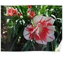 Tulip burst Poster