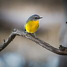 Eastern Yellow Robin by Natalie Ord