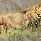 THE LION – Panthera leo by Magriet Meintjes
