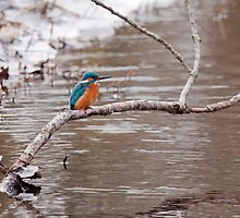 Kingfisher by Willem Hoekstra