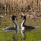 2 Love Great Crested Grebe by Willem Hoekstra