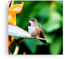Baby Hummingbird Canvas Print