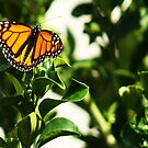 Momentary Monarch by Aaron Baker