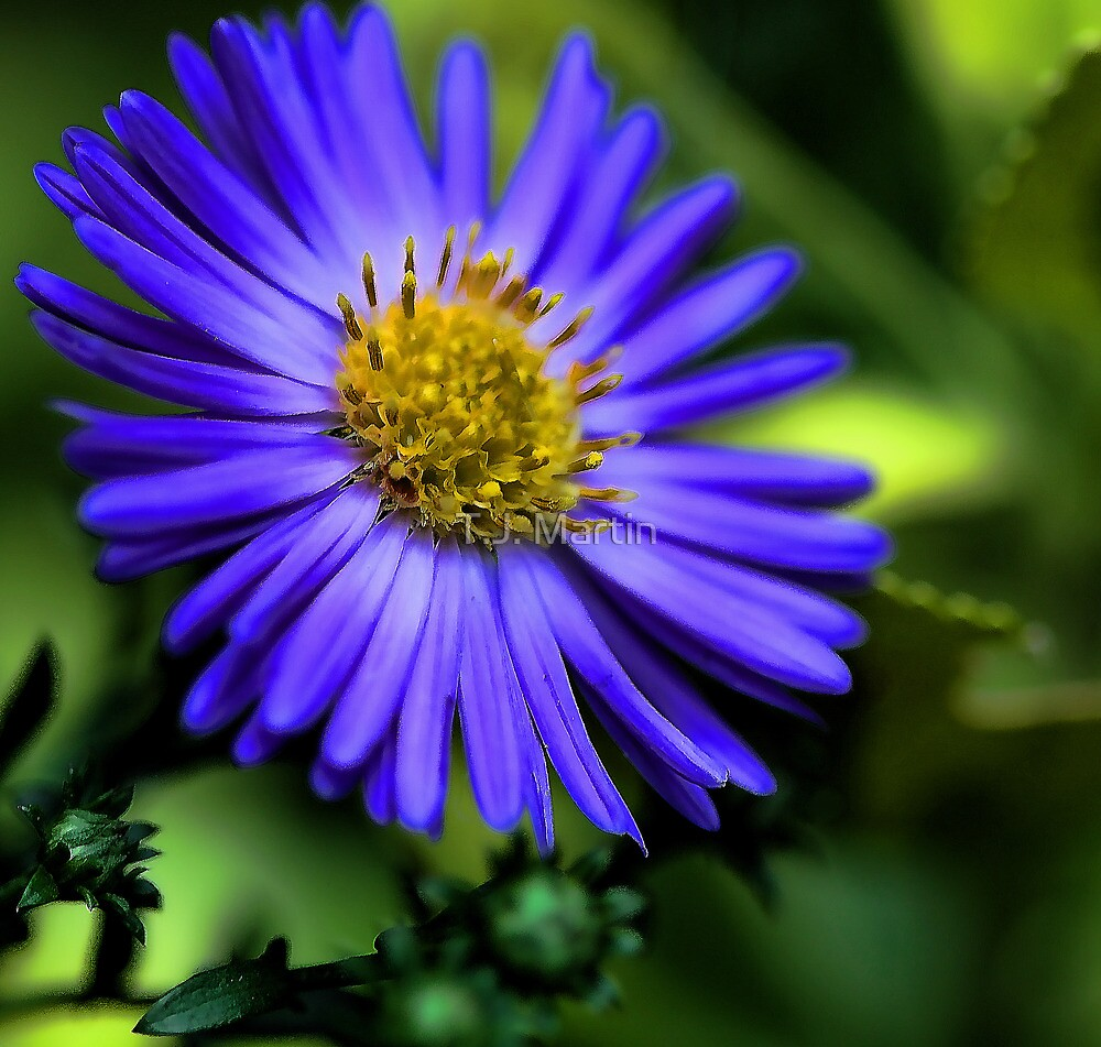 -Potted Fall Aster by T.J. Martin