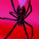 black widow against red background by Flux Photography