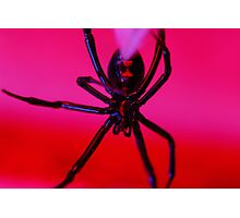 black widow against red background Photographic Print