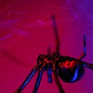 black widow on web by Flux Photography