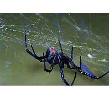 black widow spider hanging on web Photographic Print