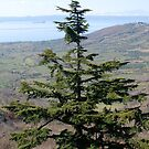 So Tall Tree in Italy-Montefiascone by Deborah Downes