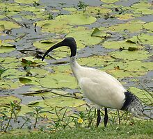 Ibis came to feed, Gold Coast Botanic Gardens by krista121